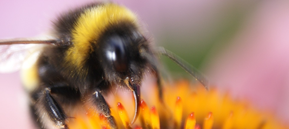 abeilledard2