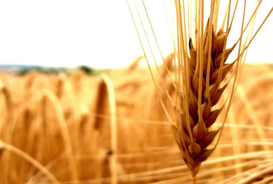 wheat - agri-food