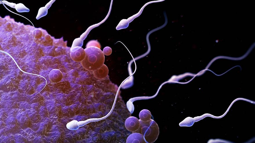 sperm cells in vitro