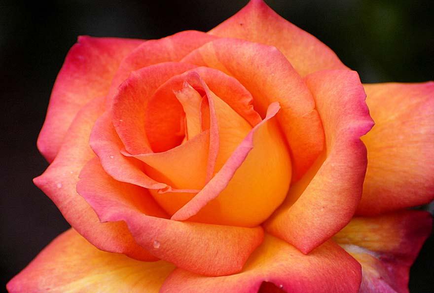 rose bionique