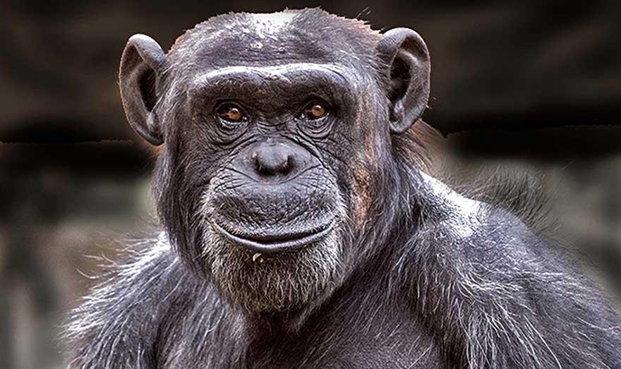 Chimpanzé Culture