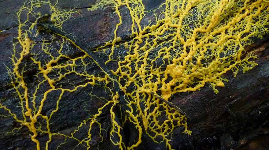 Physarum polycephalum