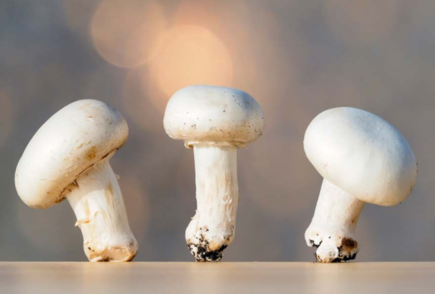 champignon CRISPR Yang