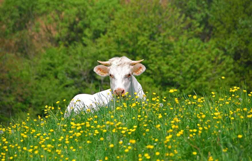 Vache dans pâturage