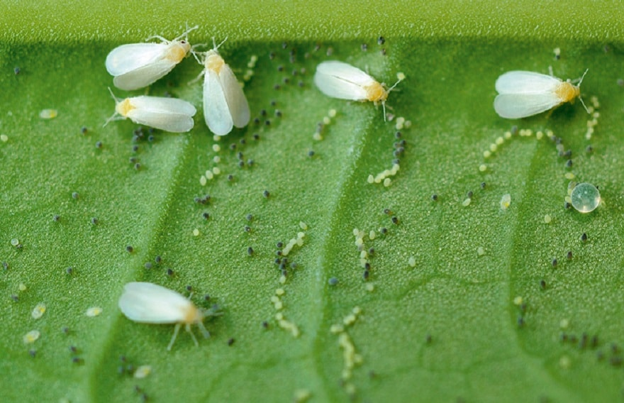 parasitic whitefly