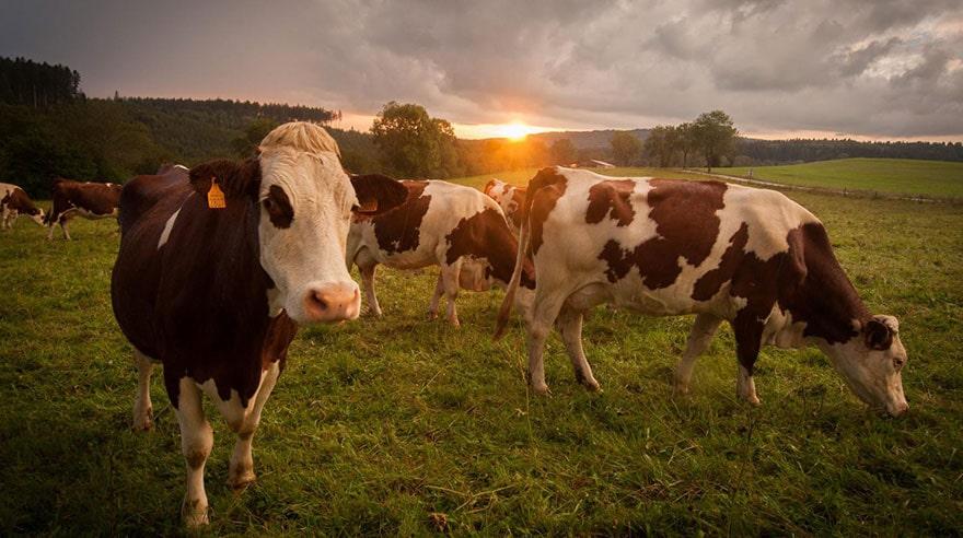 vaches sécheresse