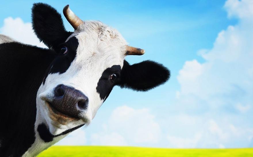 Vache génétiquement modifiée