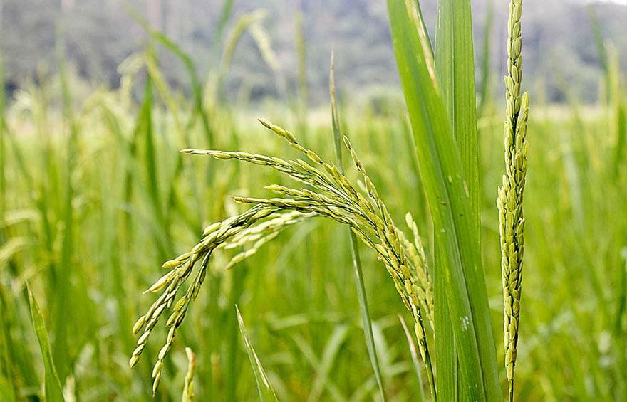 riz et nutriments