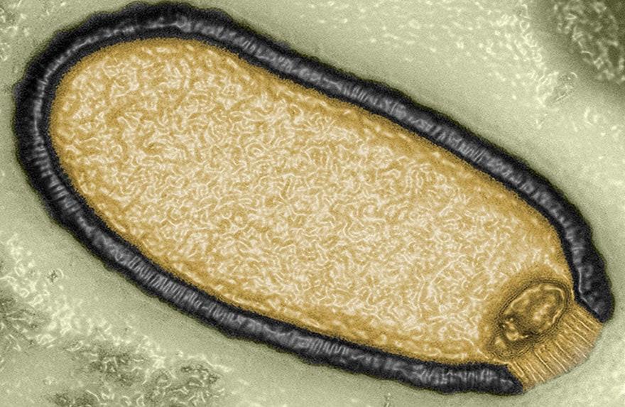 pandoravirus