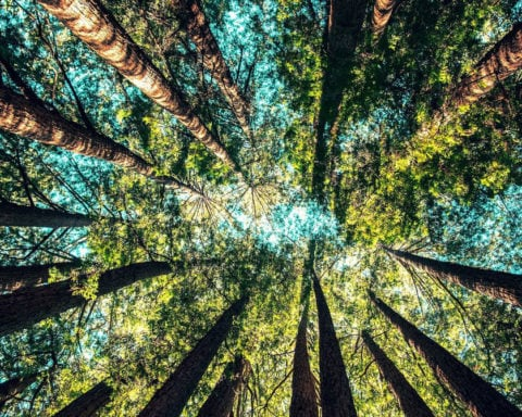 Planting trees to offset CO2: is that such a good idea?