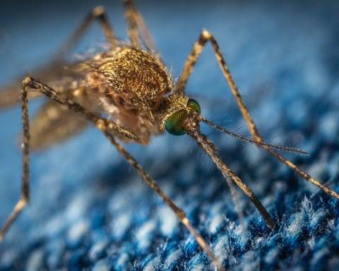 moustiques génétiquement modifiés
