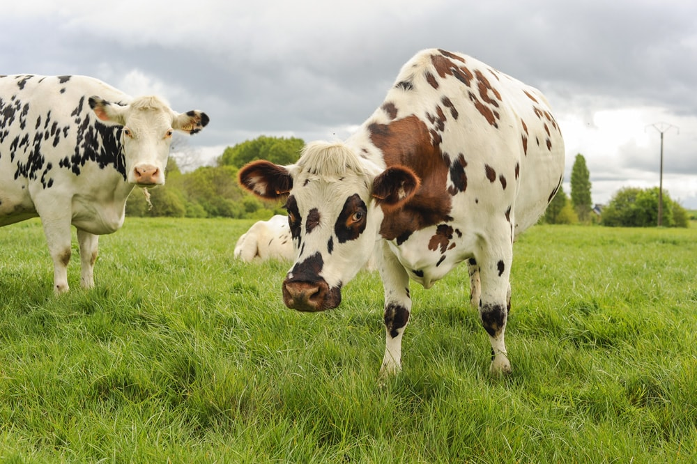 Low-carbon cows to leave less of a footprint on the planet