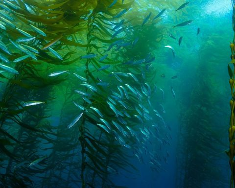 These forests at the bottom of the oceans could help us face the climate crisis.