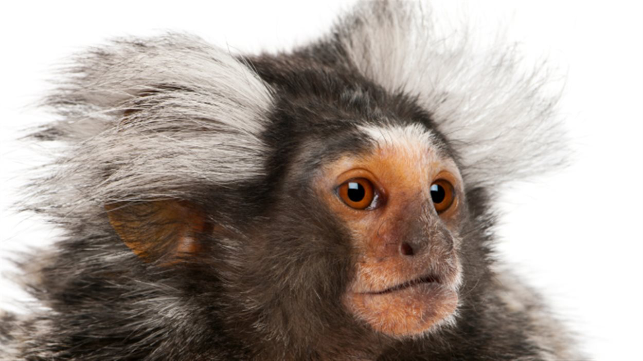 Researchers have implanted a human gene into monkeys to increase their brain size...