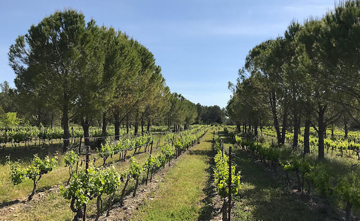 Trees in the vineyards to fight against climate change
