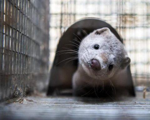 Chauves-souris, visons, pangolins : le rôle des animaux dans le Covid-19