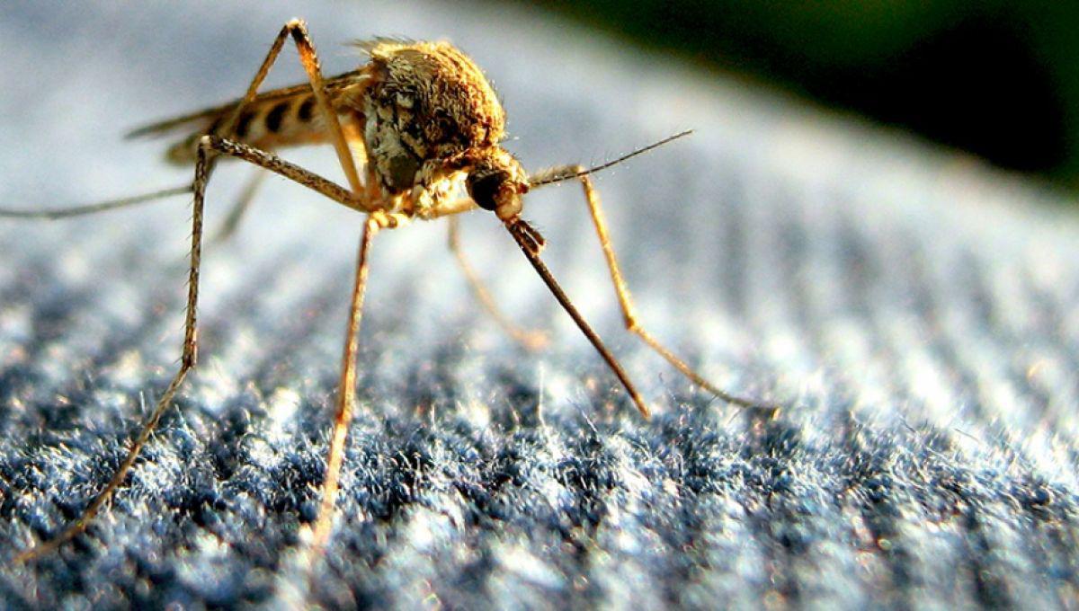 Des moustiques génétiquement modifiés lâchés dans la nature
