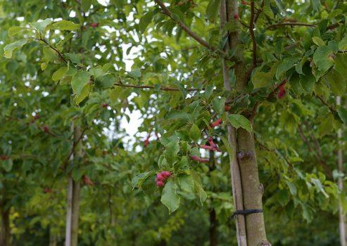 147 arbres plantés le long du tracé du tramway sur les boulevards du centre-ville d'Angers