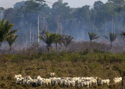 Cattle graze while a forest area is burned in the background to make way for another pasture in the Amazon rainforest at the city of Novo Progresso, Para state, Brazil, on August 25, 2019.